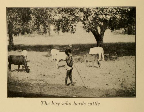 An Indian  Boy Herding Cattle